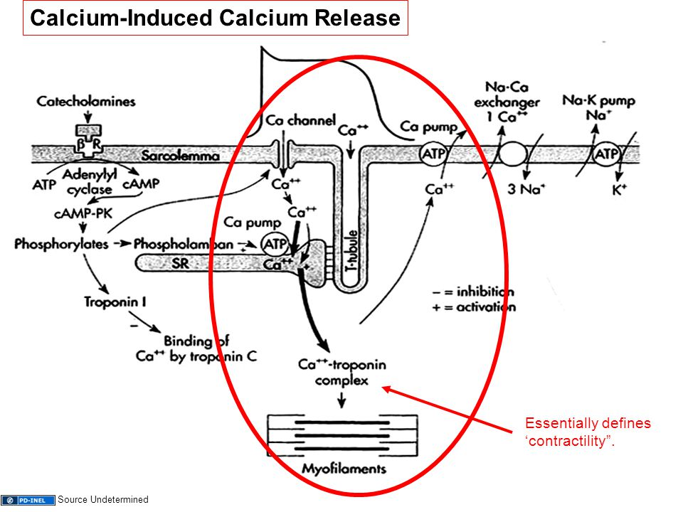 "11 Calcium-Induced Calcium Release Essentially defines 'contractility"". Source Undetermined"