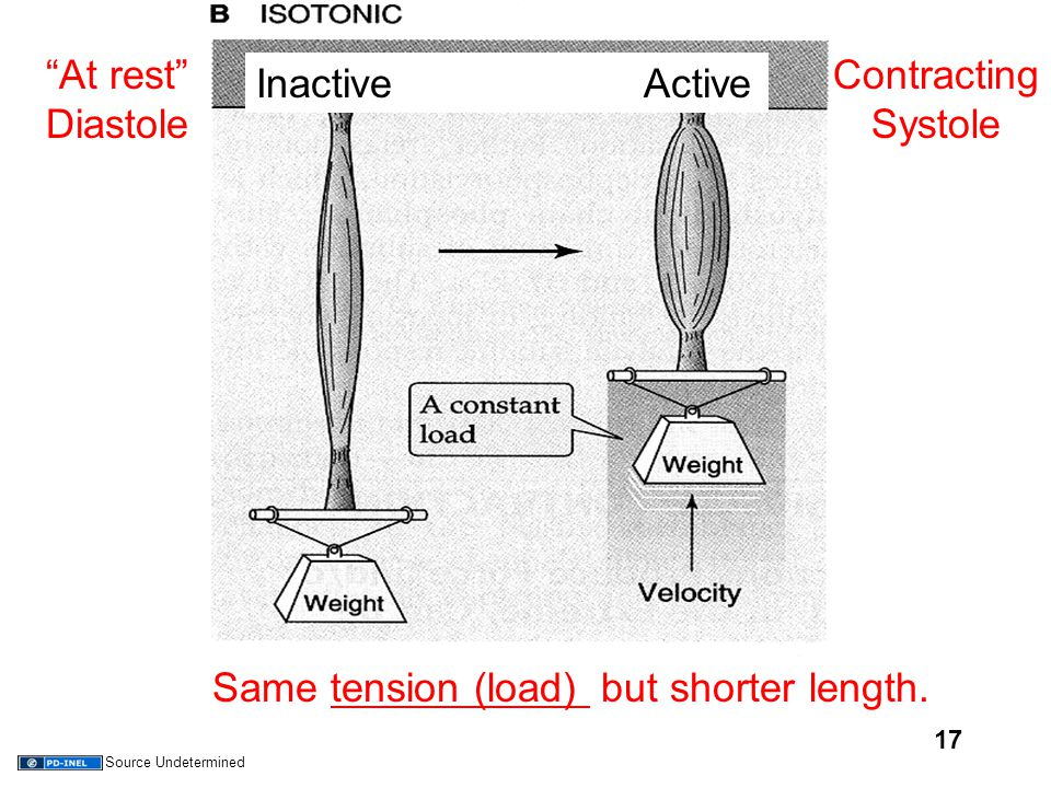 "17 Inactive Active ""At rest"" Diastole Contracting Systole Same tension (load) but shorter length. Source Undetermined"