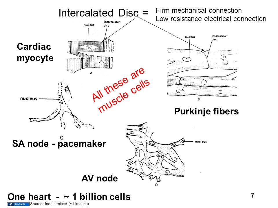 7 Cardiac myocyte Purkinje fibers SA node - pacemaker AV node One heart - ~ 1 billion cells All these are muscle cells Intercalated Disc = Firm mechan