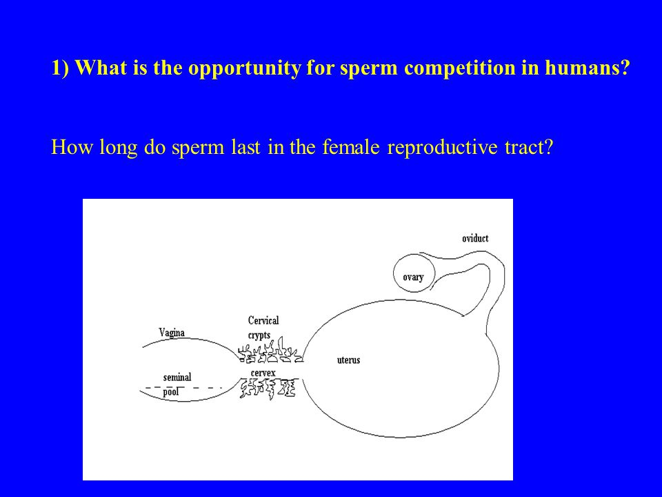 1) What is the opportunity for sperm competition in humans.