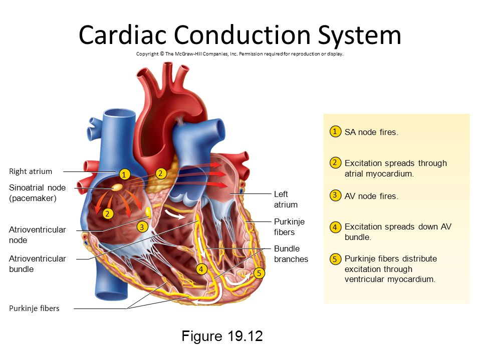 Cardiac Conduction System Figure 19.12 Copyright © The McGraw-Hill Companies, Inc. Permission required for reproduction or display. 2 3 4 5 1 1 2 3 4