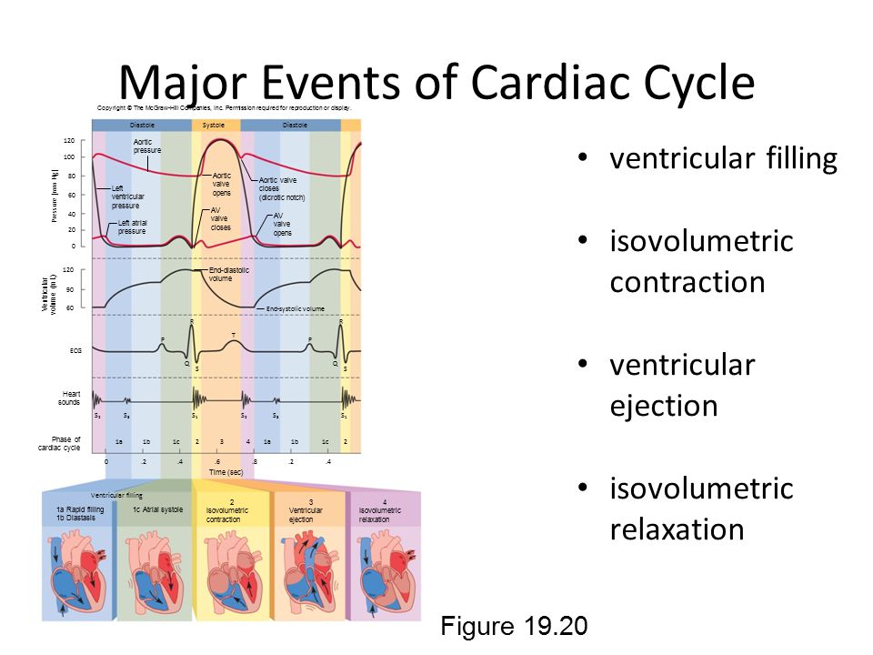 Major Events of Cardiac Cycle ventricular filling isovolumetric contraction ventricular ejection isovolumetric relaxation Figure 19.20 Copyright © The