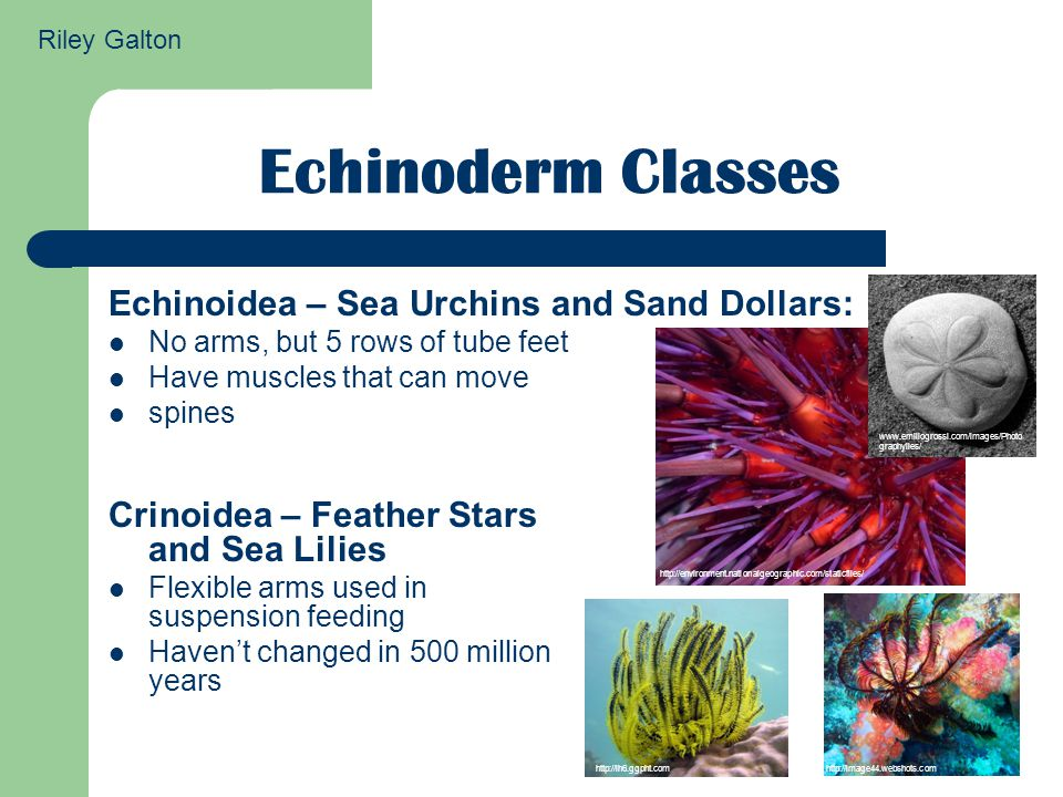 Echinoderm Classes Echinoidea – Sea Urchins and Sand Dollars: No arms, but 5 rows of tube feet Have muscles that can move spines http://environment.nationalgeographic.com/staticfiles/ www.emiliogrossi.com/images/Photo graphyiles/ Crinoidea – Feather Stars and Sea Lilies Flexible arms used in suspension feeding Haven't changed in 500 million years http://lh6.ggpht.comhttp://image44.webshots.com Riley Galton
