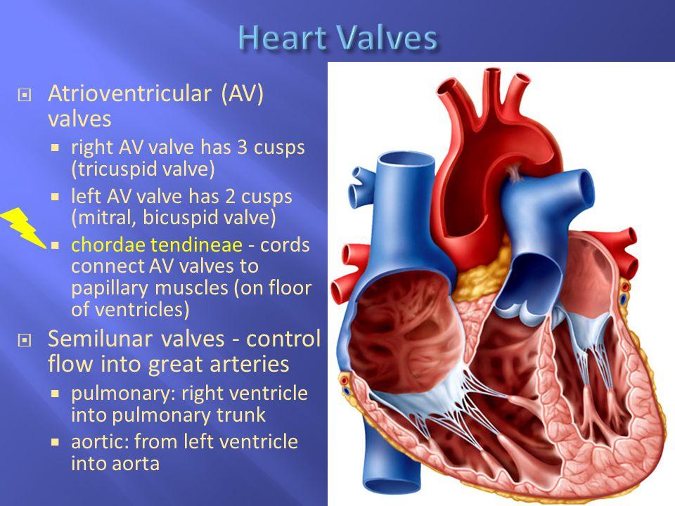 19-11  Atrioventricular (AV) valves  right AV valve has 3 cusps (tricuspid valve)  left AV valve has 2 cusps (mitral, bicuspid valve)  chordae ten