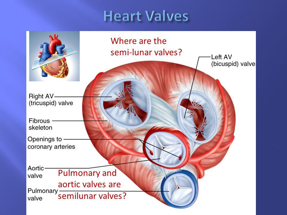 Where are the semi-lunar valves? Pulmonary and aortic valves are semilunar valves?