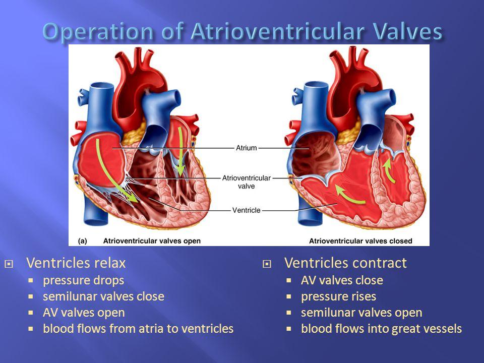  Ventricles relax  pressure drops  semilunar valves close  AV valves open  blood flows from atria to ventricles  Ventricles contract  AV valves