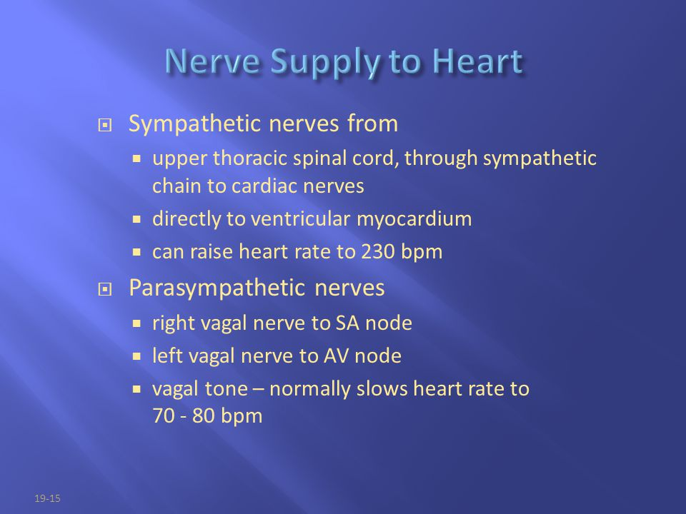 19-15  Sympathetic nerves from  upper thoracic spinal cord, through sympathetic chain to cardiac nerves  directly to ventricular myocardium  can r