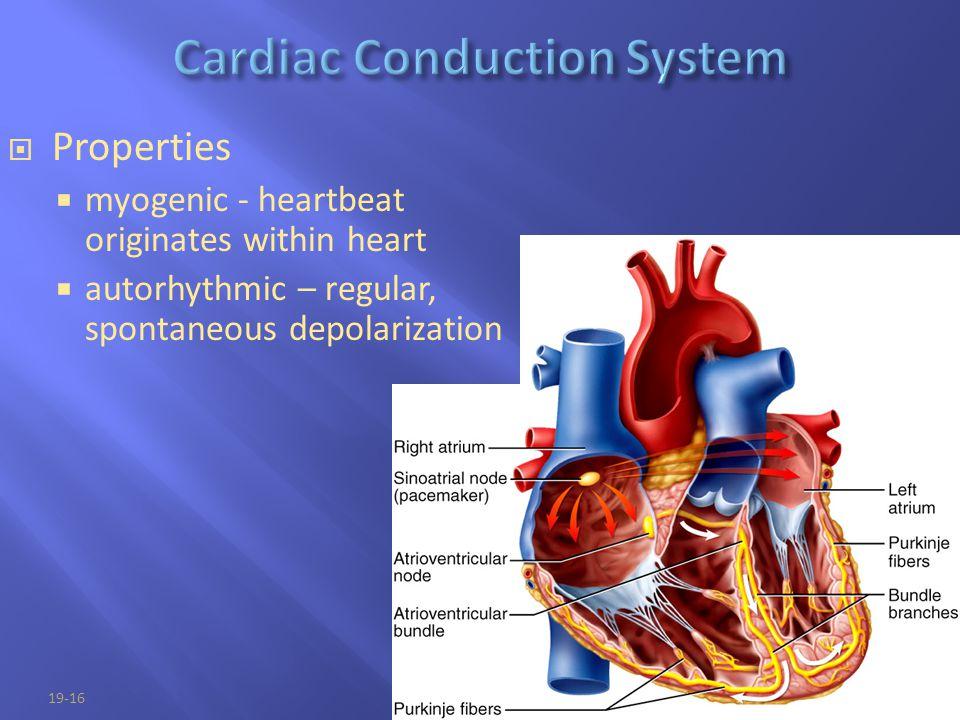 19-16  Properties  myogenic - heartbeat originates within heart  autorhythmic – regular, spontaneous depolarization