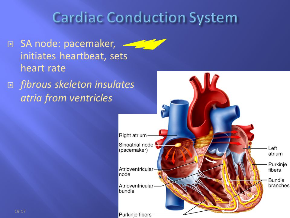 19-17  SA node: pacemaker, initiates heartbeat, sets heart rate  fibrous skeleton insulates atria from ventricles