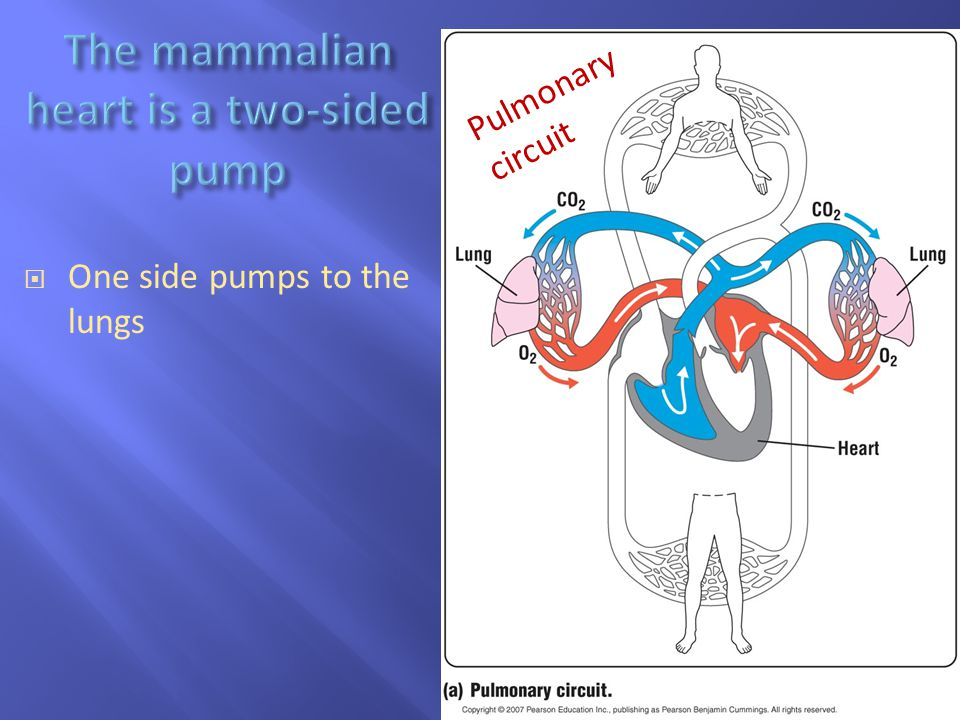  One side pumps to the lungs Pulmonary circuit