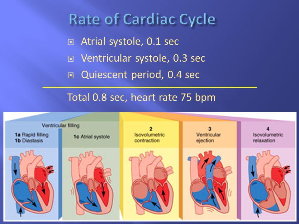19-32  Atrial systole, 0.1 sec  Ventricular systole, 0.3 sec  Quiescent period, 0.4 sec Total 0.8 sec, heart rate 75 bpm