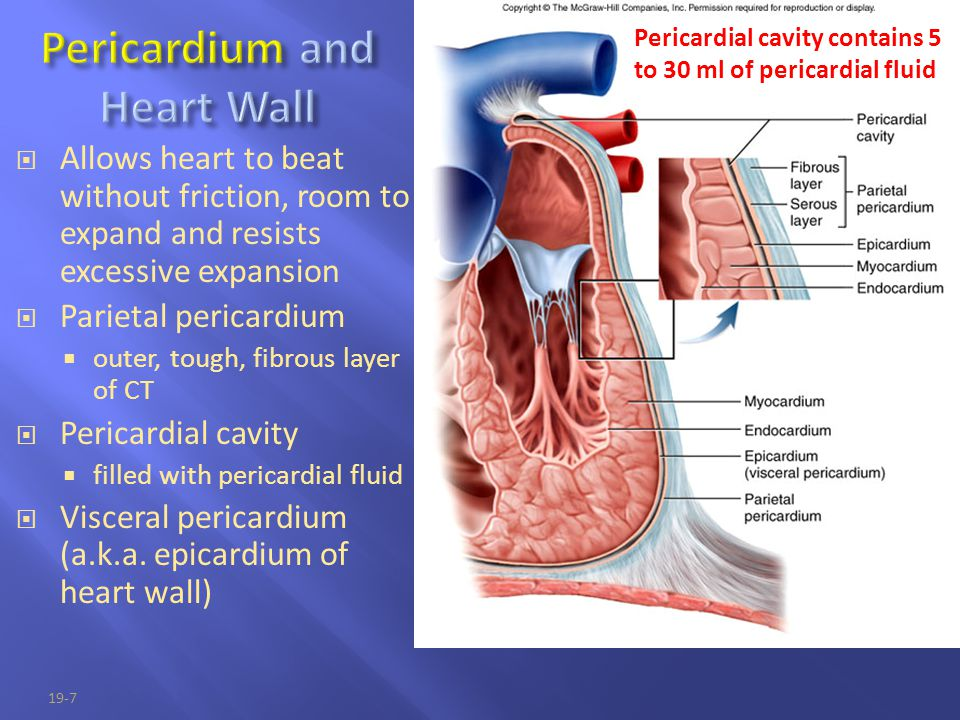 19-7  Allows heart to beat without friction, room to expand and resists excessive expansion  Parietal pericardium  outer, tough, fibrous layer of C