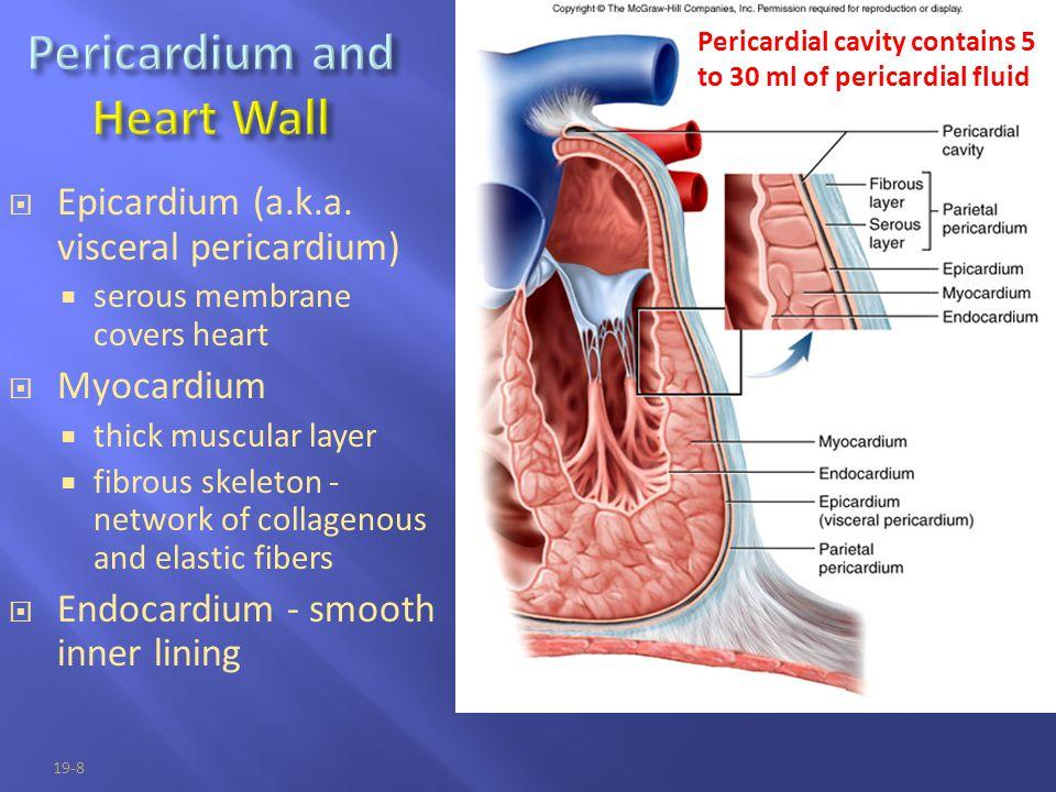19-8  Epicardium (a.k.a. visceral pericardium)  serous membrane covers heart  Myocardium  thick muscular layer  fibrous skeleton - network of col