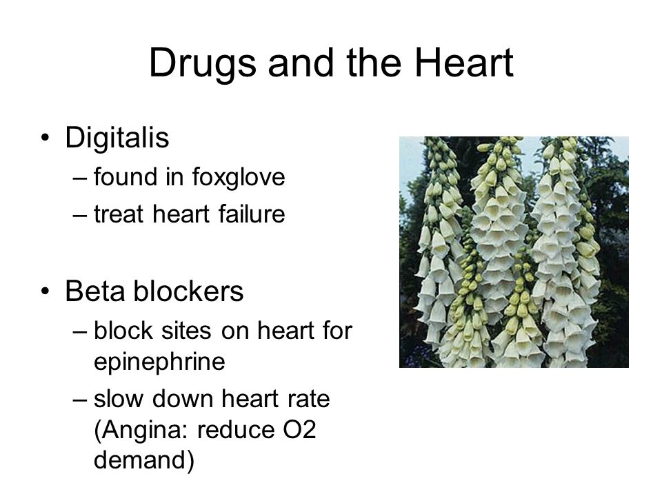Drugs and the Heart Digitalis –found in foxglove –treat heart failure Beta blockers –block sites on heart for epinephrine –slow down heart rate (Angin