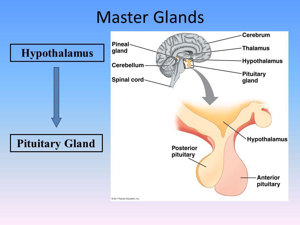 Hypothalamus Pituitary Gland Master Glands