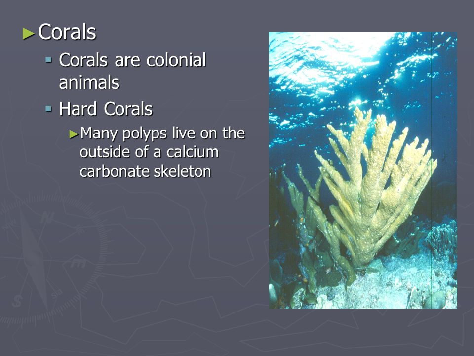 ► Corals  Corals are colonial animals  Hard Corals ► Many polyps live on the outside of a calcium carbonate skeleton