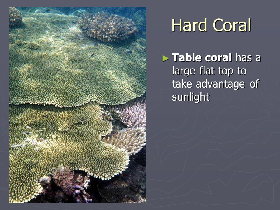 Hard Coral ► Table coral has a large flat top to take advantage of sunlight