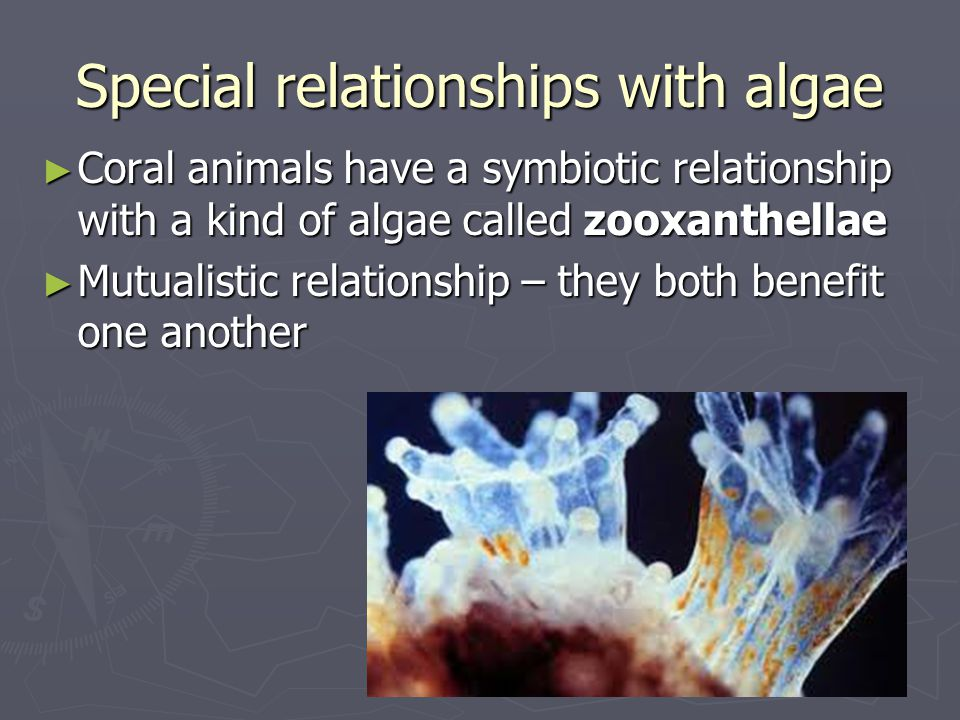 Special relationships with algae ► Coral animals have a symbiotic relationship with a kind of algae called zooxanthellae ► Mutualistic relationship –
