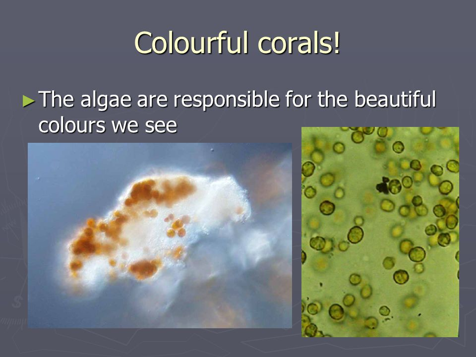 Colourful corals! ► The algae are responsible for the beautiful colours we see