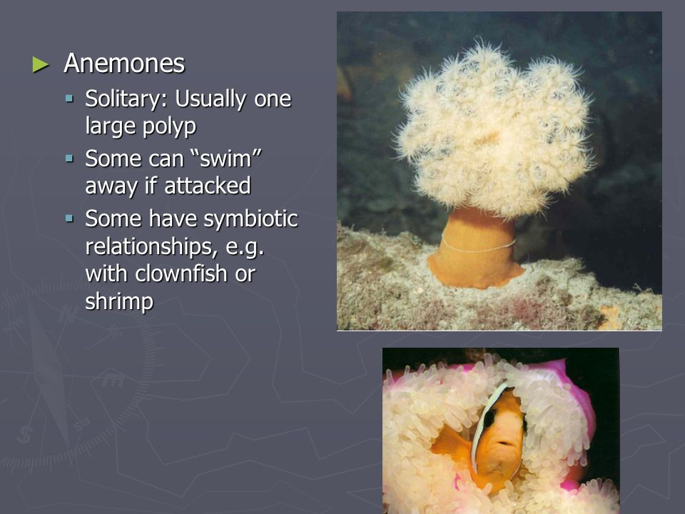 """► Anemones  Solitary: Usually one large polyp  Some can """"swim"""" away if attacked  Some have symbiotic relationships, e.g. with clownfish or shrimp"""