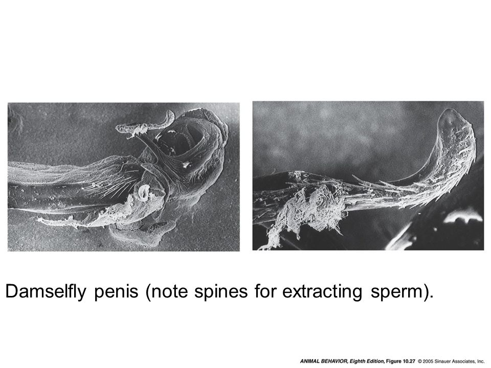 Figure 10.27 from Animal Behavior text Damselfly penis (note spines for extracting sperm).
