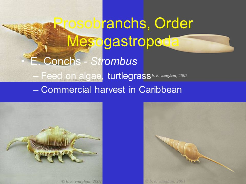 Prosobranchs, Order Mesogastropoda E. Conchs - Strombus –Feed on algae, turtlegrass –Commercial harvest in Caribbean