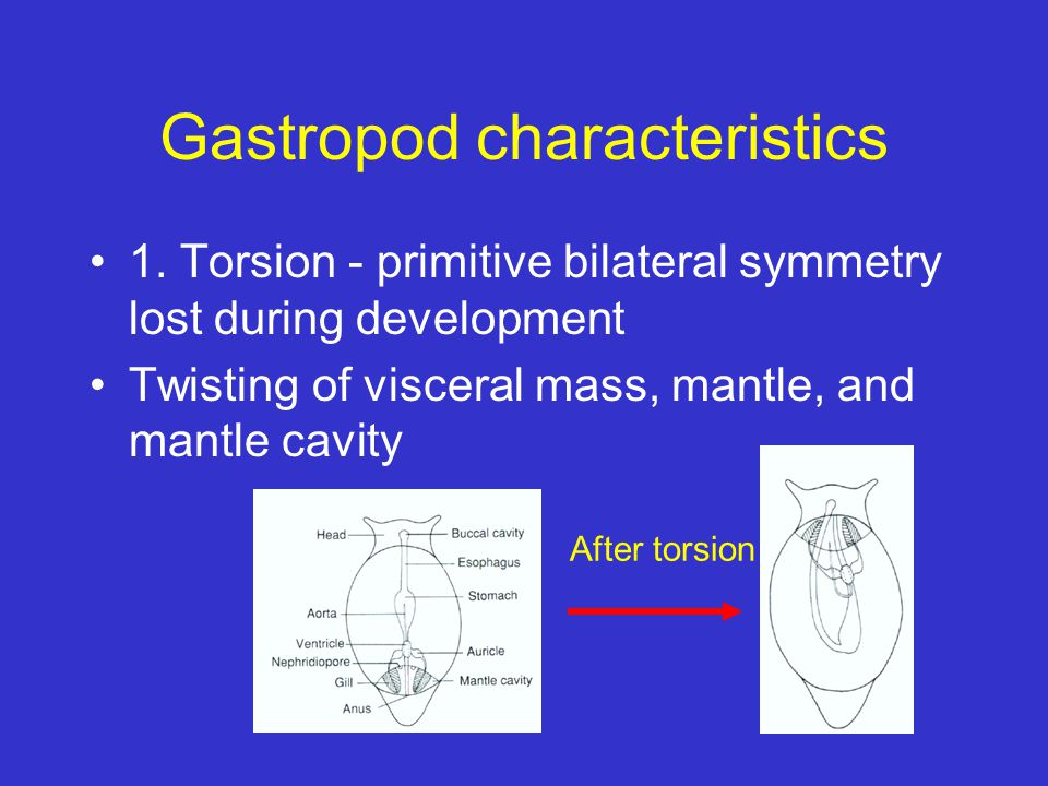 Gastropod characteristics 1. Torsion - primitive bilateral symmetry lost during development Twisting of visceral mass, mantle, and mantle cavity After