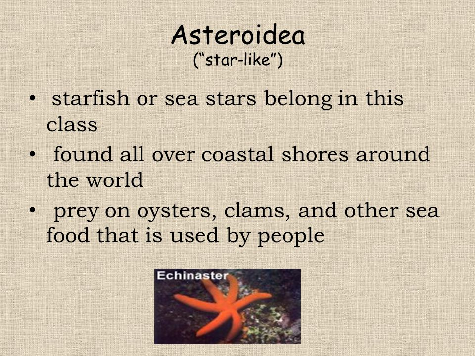"""Asteroidea (""""star-like"""") starfish or sea stars belong in this class found all over coastal shores around the world prey on oysters, clams, and other s"""