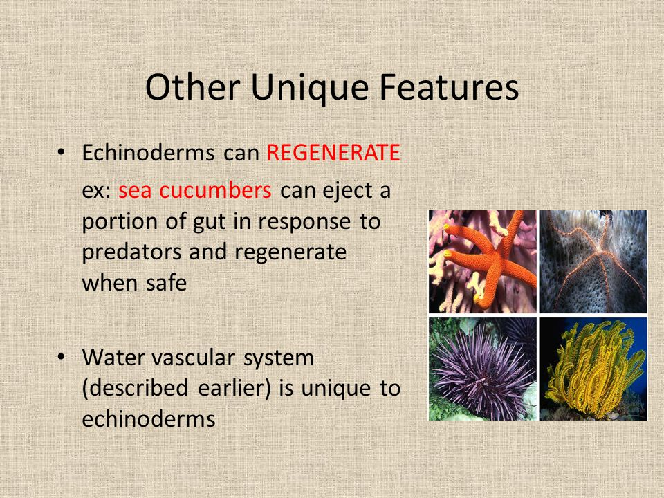 Other Unique Features Echinoderms can REGENERATE ex: sea cucumbers can eject a portion of gut in response to predators and regenerate when safe Water