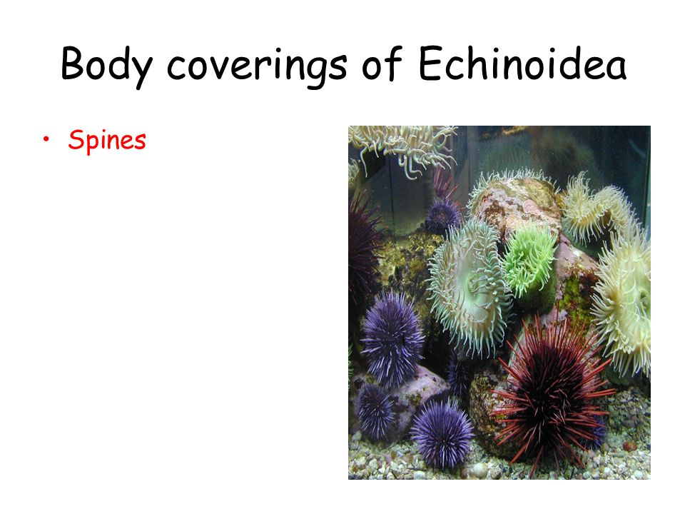 Body coverings of Echinoidea Spines