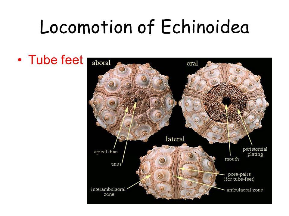 Locomotion of Echinoidea Tube feet