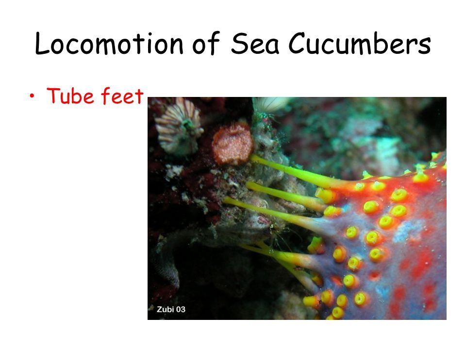 Locomotion of Sea Cucumbers Tube feet