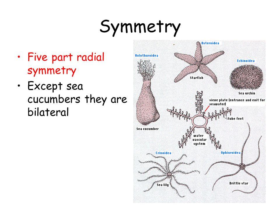 Symmetry Five part radial symmetry Except sea cucumbers they are bilateral