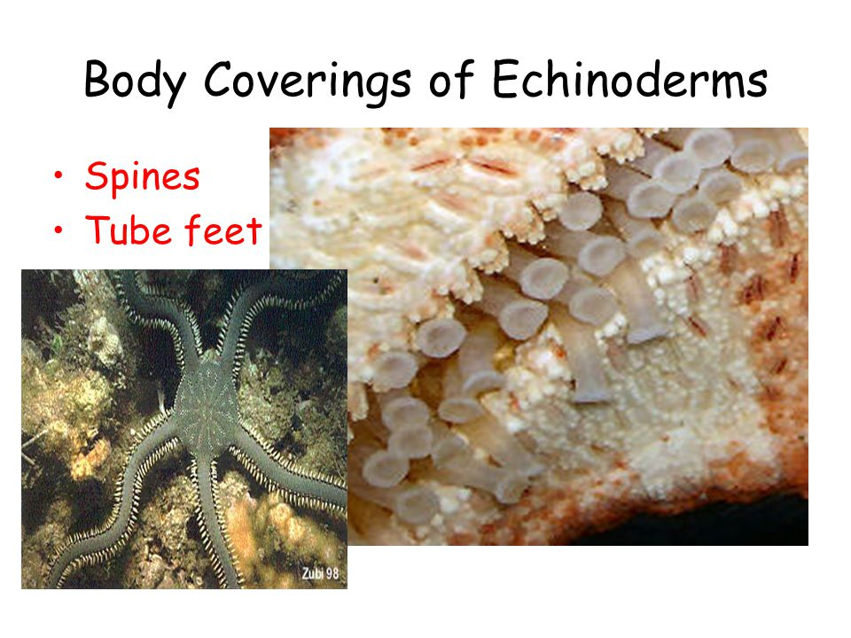 Body Coverings of Echinoderms Spines Tube feet