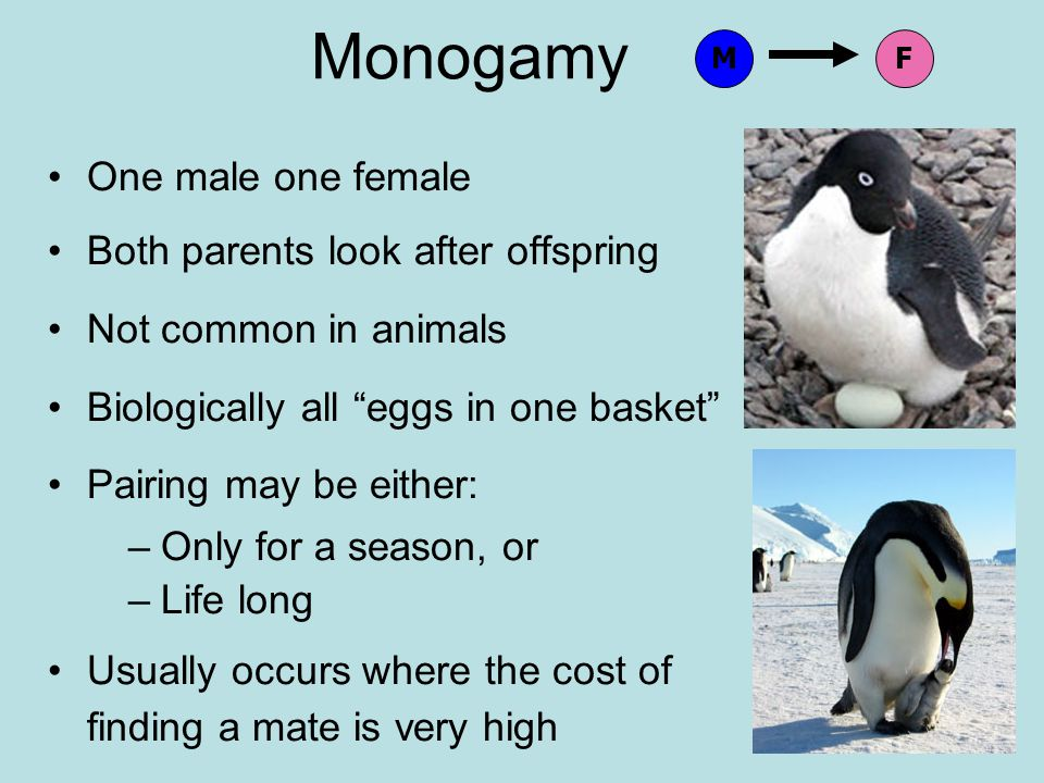 Monogamy One male one female Both parents look after offspring Not common in animals Biologically all eggs in one basket Pairing may be either: –Only for a season, or –Life long Usually occurs where the cost of finding a mate is very high MF