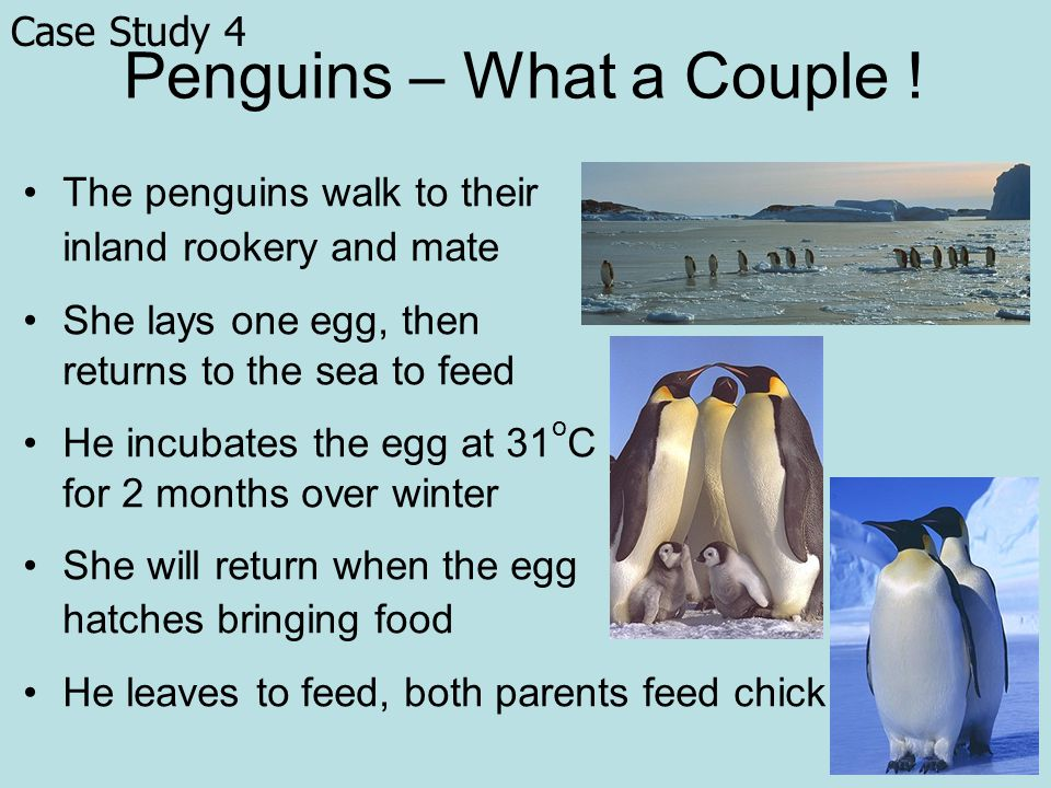 Penguins – What a Couple .