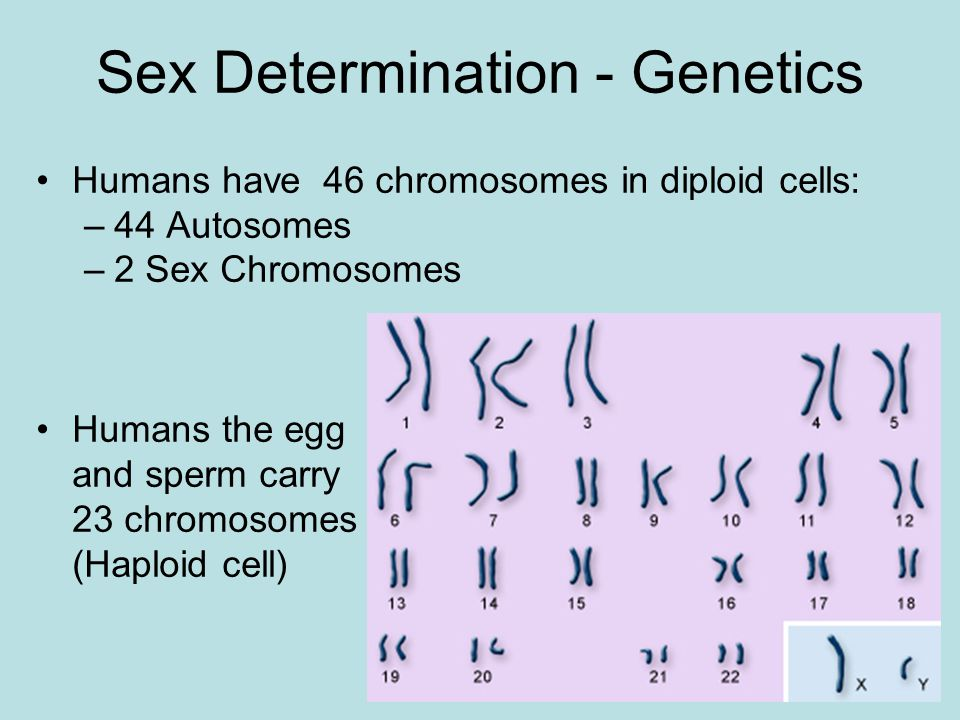 Sex Determination - Genetics Humans have 46 chromosomes in diploid cells: –44 Autosomes –2 Sex Chromosomes Humans the egg and sperm carry 23 chromosomes (Haploid cell)