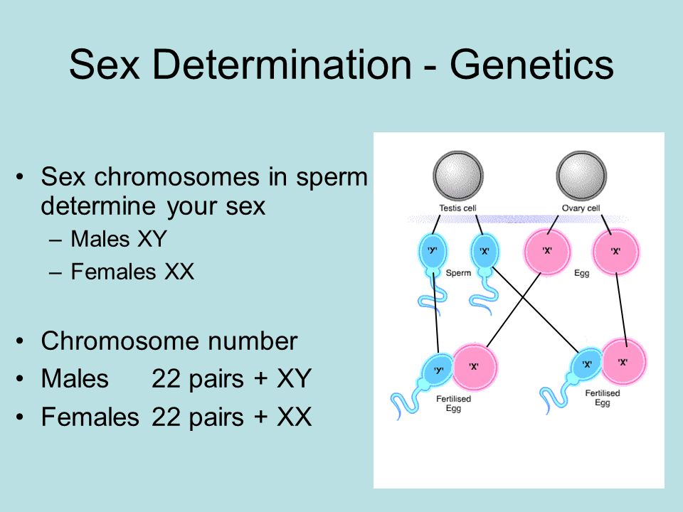 Sex Determination - Genetics Sex chromosomes in sperm determine your sex –Males XY –Females XX Chromosome number Males 22 pairs + XY Females 22 pairs + XX