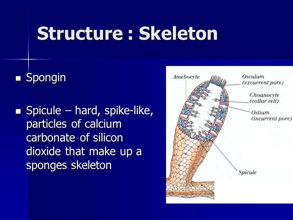 Structure : Skeleton Spongin Spongin Spicule – hard, spike-like, particles of calcium carbonate of silicon dioxide that make up a sponges skeleton Spi