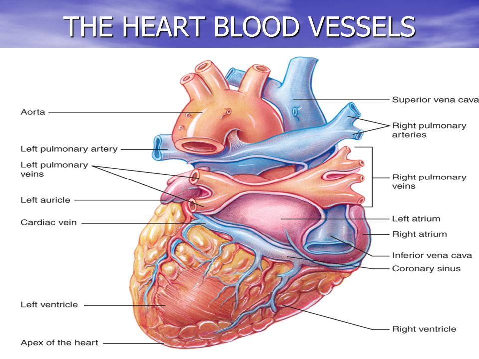 10 THE HEART BLOOD VESSELS