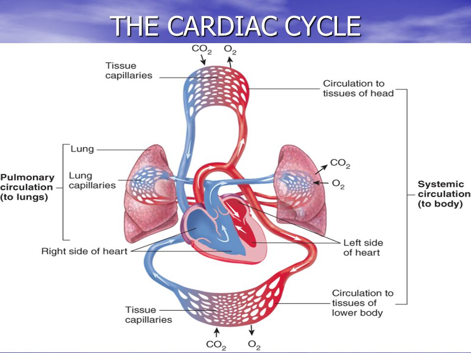 24 THE CARDIAC CYCLE