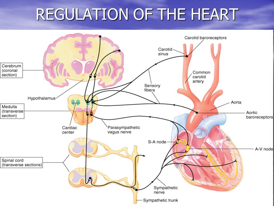 30 REGULATION OF THE HEART