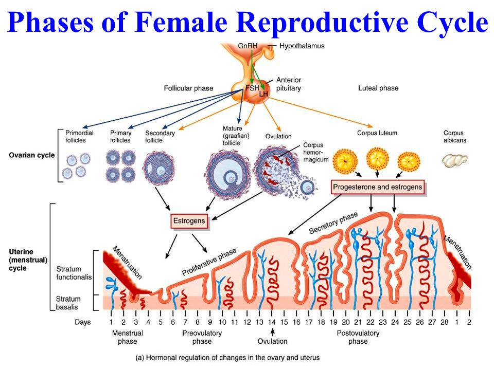 Phases of Female Reproductive Cycle