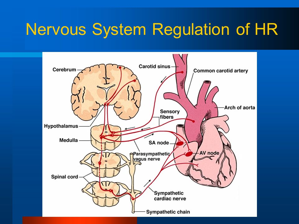 Nervous System Regulation of HR