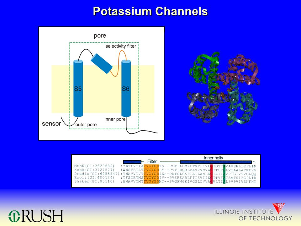 Potassium Channels inner pore outer pore selectivity filter