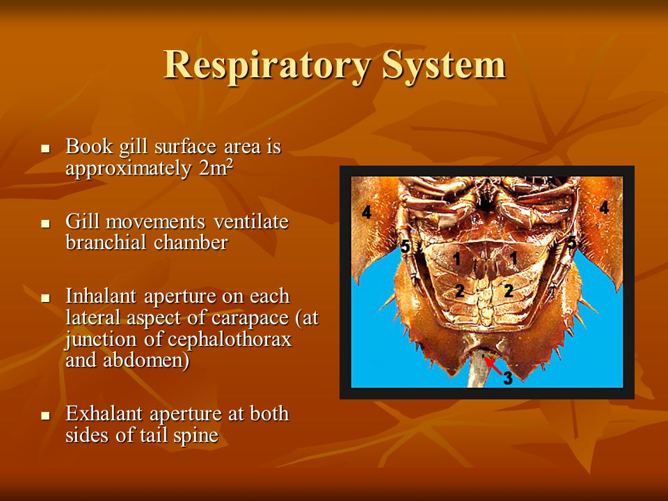 Respiratory System Book gill surface area is approximately 2m 2 Book gill surface area is approximately 2m 2 Gill movements ventilate branchial chambe