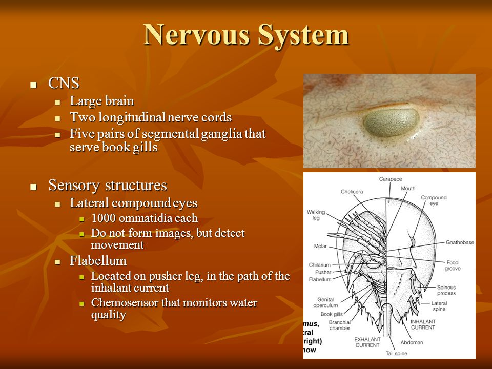 Nervous System CNS CNS Large brain Large brain Two longitudinal nerve cords Two longitudinal nerve cords Five pairs of segmental ganglia that serve bo