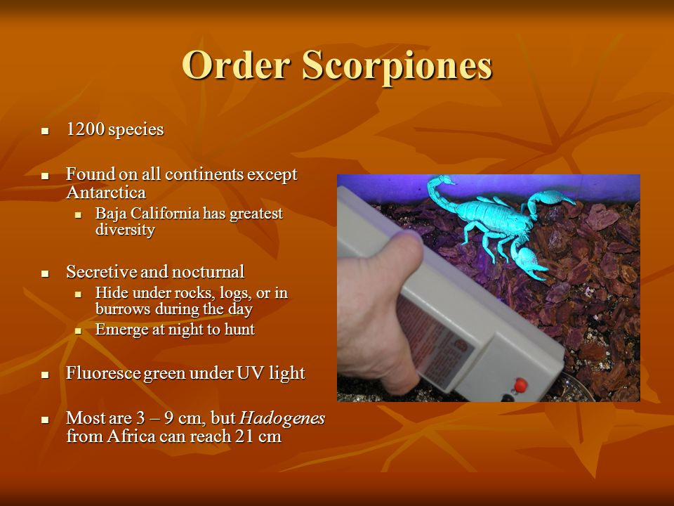 Order Scorpiones 1200 species 1200 species Found on all continents except Antarctica Found on all continents except Antarctica Baja California has gre
