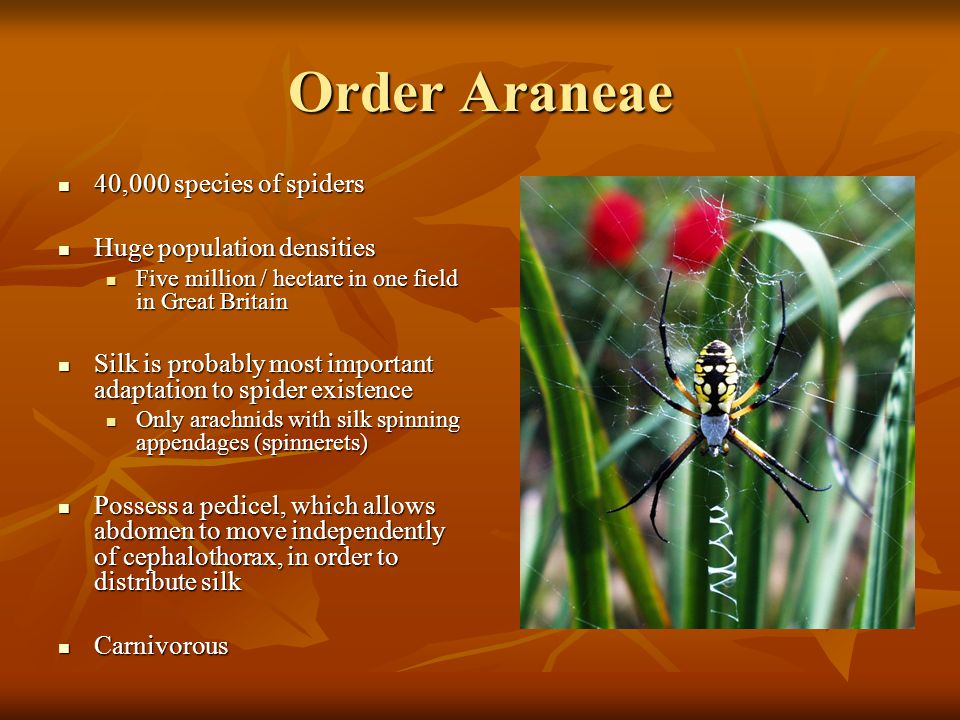 Order Araneae 40,000 species of spiders 40,000 species of spiders Huge population densities Huge population densities Five million / hectare in one fi
