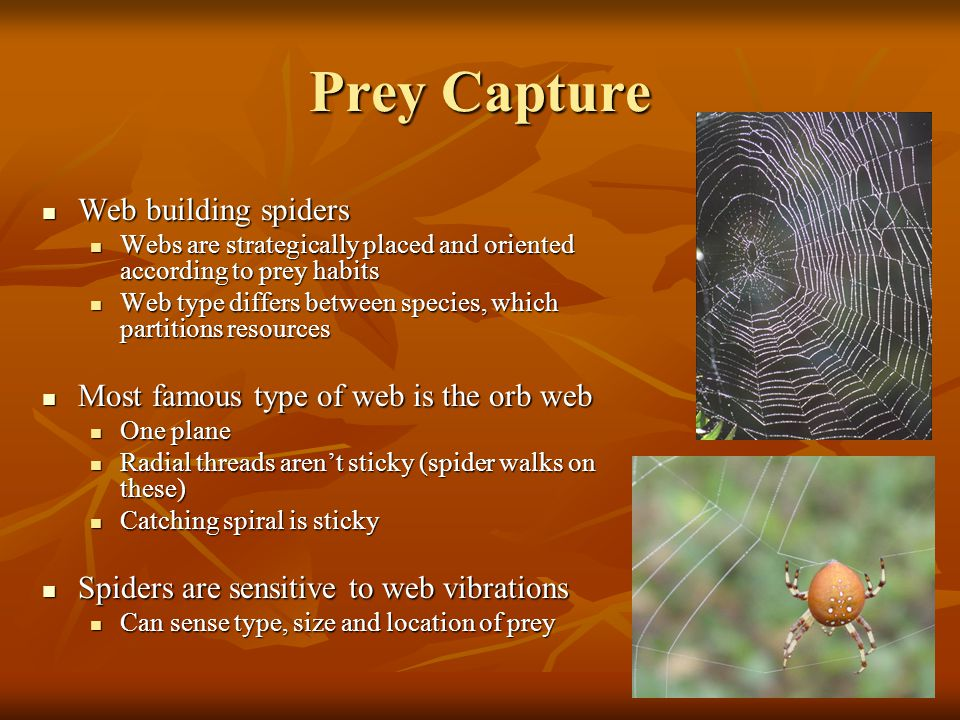 Prey Capture Web building spiders Web building spiders Webs are strategically placed and oriented according to prey habits Webs are strategically plac